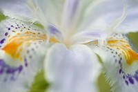 Iris Japonica, close-up, soft focus