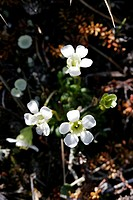 Diapensia or Pincushion plant  Diapensia lapponica is a flower of the Northernmost fells  Kilpisjarvi, Finland