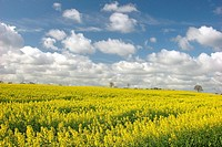 Turnip rape field in Germany  Travemunde