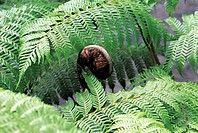 Reunion, tree fern, close-up on a sprout