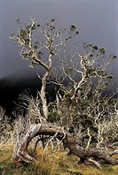 Reunion, Mafate cirque, tamarind trees on a stormy day