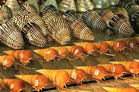 Mauritius, shells for sale
