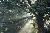 Beams of sunlight coming through tree branches
