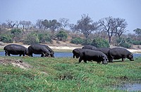 Hippopotamus,Hippopatamus amphibius,Chobe Nationalpark,Botswana,Africa,group of adults feeding on shore