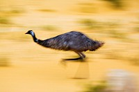 Emu running in desert