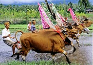 Water-buffalos races in Mekepung, area Jembrana, island Bali, Indonesia