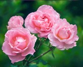 Pink Rose Blossom. Rosa hybrid. June 2006