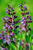 Clary, Salvia officinalis