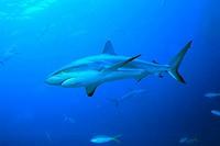 Carribean, Reef, Shark, Bahamas, Carcharhinus, perezi,