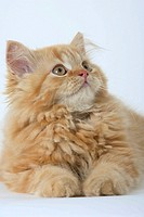 Persian, Cat, kitten,