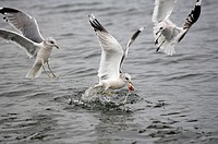 Common, Gulls, with, food, Mecklenburg-Western, Pommerania, Germany, Larus, canus, Mew, Gull,