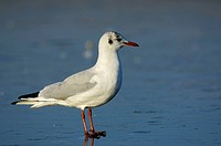Black-headed, Gull, in, winter, plumage, North, Rhine-Westphalia, Germany, Larus, ridibundus, side,