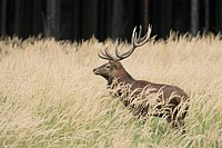 Red deer (Cervus elaphus) , male