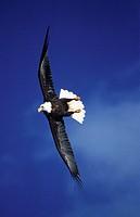 Bald, Eagle, Homer, Alaska, USA, Haliaeetus, leucocephalus, , freistellbar