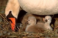 Mute, Swan, with, chicks, at, nest, Rhineland-Palatinate, Germany, Cygnus, olor