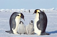 Emperor, Penguins, with, chicks, Dawson-Lambton, Glacier, Antartica, Aptenodytes, forsteri
