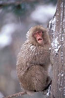Japanese, Macaque, Joshin-Etsu, Kogen, national, park, Japan, Macaca, fuscata