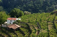 Hillside Vineyard. Manolates. Samos. Northeastern Aegean Islands. Greece.
