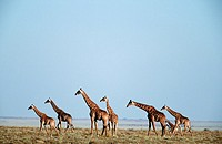 Giraffe Giraffa camelopardalis Herd on an Open Plain  Etosha National Park, Namibia