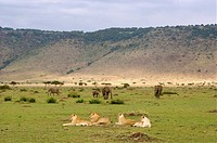 Lion Panthera leo Pride and Elephant Loxodonta africana Herd in Crater  Ngorongoro Crater, Tanzania