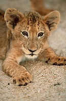 Close-up of a Lion Cub Panthera leo Lying in the Sand  Ngala Private Reserve, Limpopo Province, South Africa