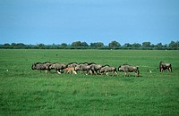 Long Shot of the Migration of a Herd of Blue Wildebeest Connochaetes taurinus  Savuti, Chobe National Park, Botswana