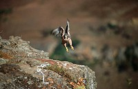 Lanner Falcon Falco biarmicus Taking Off From a Rock  Giant's Castle Reserve, Drakensberg Mountains, Kwa-Zulu Natal Province, South Africa