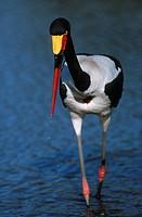Saddle-billed Stork Ephippiorhynchus senegalensis Standing in Water  Moremi Wildlife Reserve, Botswana