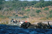 Herd of African Elephants Loxodonta africana Swimming with a Tourist Boat in the Background  Chobe River, Botswana