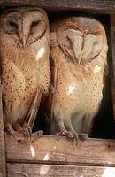 A Pair of Barn Owls Tyto alba  Zanzibar, Tanzania, East Africa
