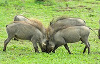 Four Young Warthogs Phacochoerus africanus Playing Around  Addo Elephant Park, Eastern Cape Province, South Africa