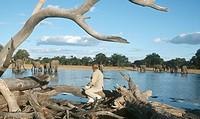 Woman Sitting on Drift Wood Viewing Elephant´s Loxodonta africana  Botswana, Africa