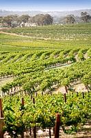 Landscape of vines in Clare Valley, Australia