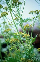 Levisticum officinale, Lovage