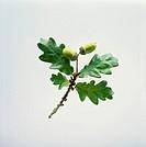 Quercus robur, Oak - Acorn