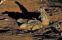 Ground Squirrel,Xerus inaurus,Kalahari Kgalagadi Tranfrontier Park,South Africa,Africa,adult with youngs at cave in last sunlight