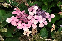 Big leaf hydrangea,Hydrangea macrophylla,Germany,blooming flower