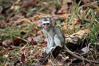 Vervet Monkey,Grivet Monkey,Cercopithecus aethiops,Kruger National Park,South Africa,young baby