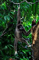White Handed Gibbon,Hylobates lar,Asia,adult hanging on tree