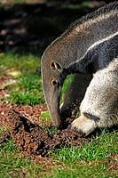 Giant Anteater,Myrmecophaga tridactyla,Pantanal,Brazil,adult,feeding,termite hill,termites,Portrait