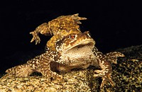 Common Toad (Bufo bufo) mating. Galicia, Spain