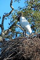 Jabiru,Jabiru mycteria,Pantanal,Brazil,adult,on nest