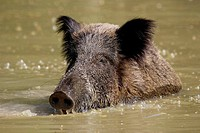 Wild Boar taking a bath (Sus scrofa) Schleswig-Holstein, Germany