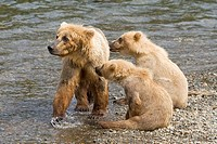 Brown Bear mom and her cubs in Katmai National Park, Alaska, USA