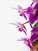 Phalaenopsis orchids (thumbnail)