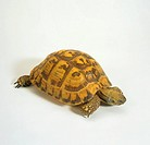 Hermann´s tortoise -cut-out / testudo hermanni