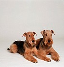 2 Welsh Terrier