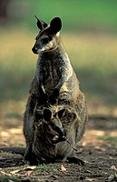 Whiptail Wallaby,Macropus parryi,Australia,adult with young in pouch