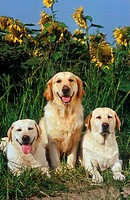 2 Labrador - and 1 Golden Retriever