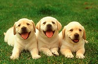 three Labrador puppies - on meadow